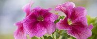 Beautiful large pink petunia flowers close-up.