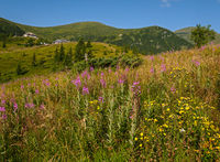 Pink blooming Sally and yellow hypericum flowers on summer mountain slope. In far - Pozhyzhevska weather and botanic stations (building was laid in 1901), Chornohora ridge, Carpathian, Ukraine.