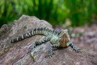 Australian water dragon in Brisbane, Australia