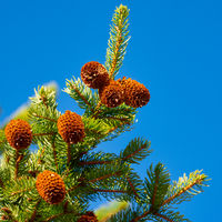 Branches of Xmas tree with cones on background of blue sky. Focus foreground