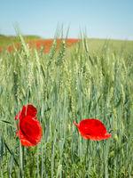 Rye with field flowers