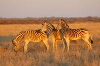 Plains zebras (Equus burchelli) in late afternoon light