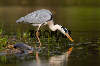 Grey heron fishing in water in summertime nature from side