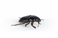 female stag beetle isolated