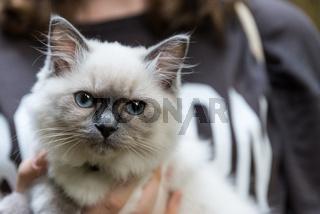 Ragdoll - imposante Hauskatze mit blauen Augen