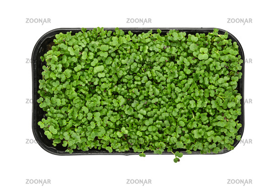 Green arugula microgreen in black tray on white