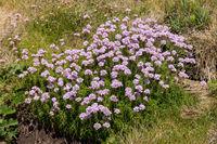 Sea Pinks (Armeria) flowering in springtime at St Ives in Cornwall