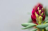 Red azalea flower isolated on blur background