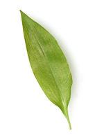 Baerlauch  ist eine wichtige Wildkraut- und Heilpflanze die ein Knoblauchduft  hat mit weissen Blueten. Sie hat mehrere giftige Doppelgaenger
