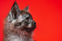Head of cute small kitty Maine Coon with furry fur of color black smoke. Portrait on red background