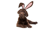 A chocolate Labrador puppy dog with bunny ears
