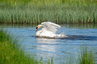 White swan washes with much splashing in the lake. Grass in the background. , nature series