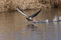 greylag goose (Anser anser) flying low above lake Federsee in Bad Buchau, Germany