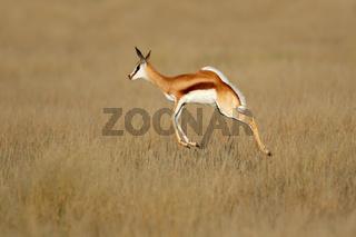 Jumping springbok antelope (Antidorcas marsupialis) in natural habitat