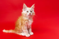 Beautiful fluffy kitten of Maine Coon breed of color red silver classic tabby on red background