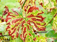 Phytoplasma, virus and virus like diseases in vines plants. Leaves affected