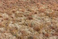 Sand-Trockenrasen mit Silbergras (Corynephorus canescens) und Flechten ((Cladonia)