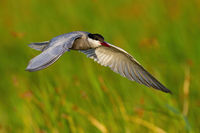 Common tern landing in wetland in sunny summer nature