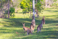 A group of kangaroos stands by the roadside in a meadow under a sign with a kangaroo