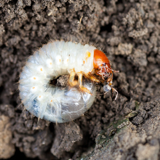 grub of cockchafer eats ant