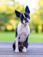 Boston terrier dog on brown terrace