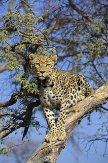 Leopard (Panthera pardus) haelt Ausschau auf einem Baum am Abend
