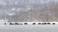 Herd of european bison crossing river in winter nature