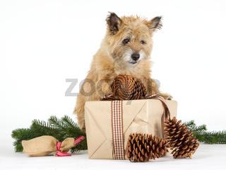 Cairn Terrier mit Geschenken