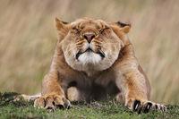 Löwin, Löwe streckt sich, Masai Mara, Kenia