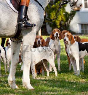 American Foxhounds before a hunt
