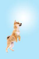 jumping shiba inu puppy dog