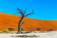 Dead tree. The Namib Naukluft desert