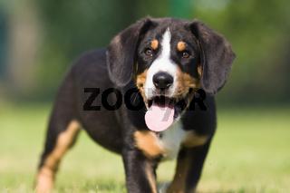 Porträt eines Sennenhund Welpens