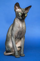 Portrait of Canadian Sphynx on blue background