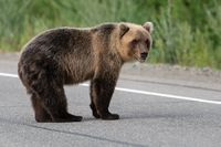 Wild terrible Kamchatka brown bear standing on asphalt road