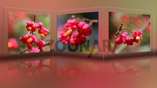Frucht des Pfaffenhut
