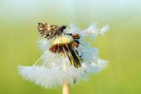 Würfel-Dickkopffalter auf Pusteblume