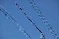Ein Schwarm Raben auf einer Stromleitung