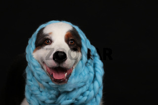 Cute dog with light blue scarf around its head
