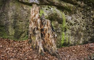 Der alte Baumstamm am Fels