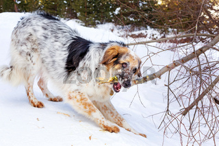 Big white, brown and black dog with a tree branch