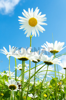 daisy flower field against blue sky