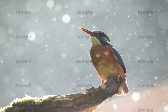 Common kingfisher sitting on bough in summer rain shower backlit by evening sun