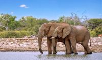 Elefanten am Wasserloch, Etosha-Nationalpark, Namibia, (Loxodonta africana) | elephants at a waterhole, Etosha National Park, Namibia, (Loxodonta africana)