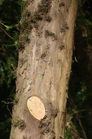 Taxus baccata, Eibe, yew, Holz