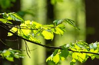 A branch of green hazel highlighted with sunlight