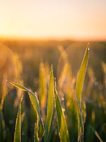 Crop in an agricultural field at early sunshine