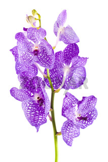 Orchid flower branch with buds