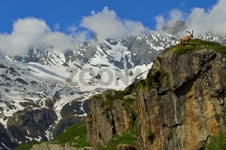Steinbock auf Berg in den Alpen