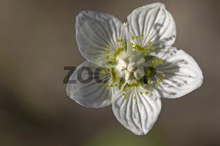 Sumpfherzblatt Parnassia palustris